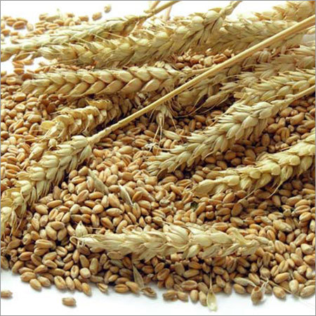 Organic Wheat Grain