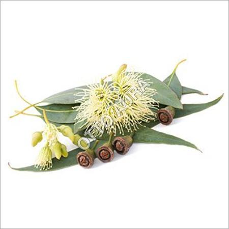 Eucalyptus Globulus Oil