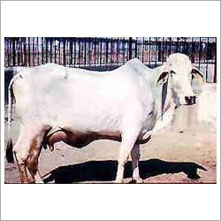 White Cow
