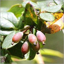 Berberis Aristata Fruit
