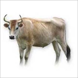 Jersey Bull
