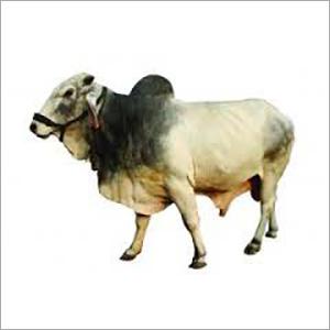Tharparkar Bull