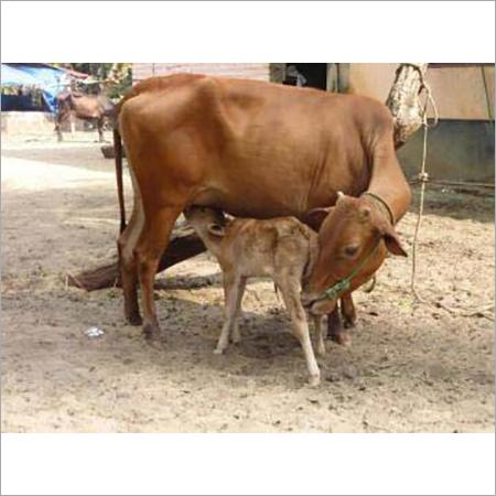 Rathi Heifer