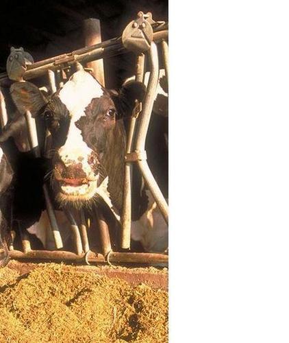 Animal Feed Corn