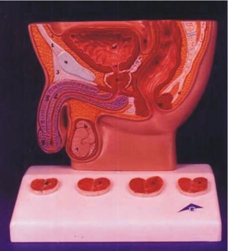 Human Male Prostate Model