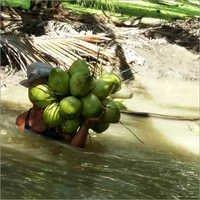 Healthy Coconut Water