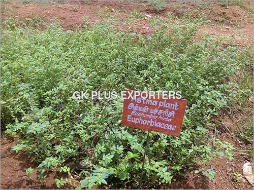 Asthma Plant