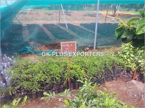 Aonla Plant