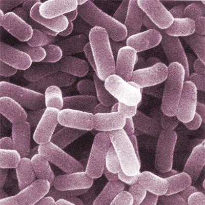 Lactobacillus Spp.