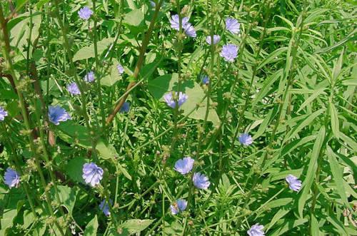 Cichorium Intybus Extract