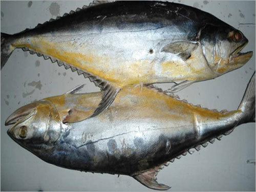 Queen Fish