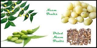 Neem Fruits