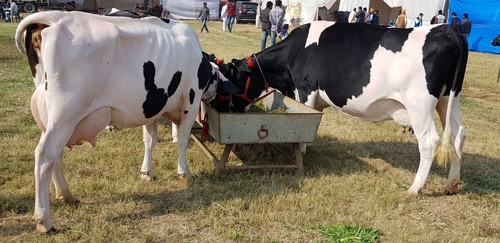 Indian HF Cows