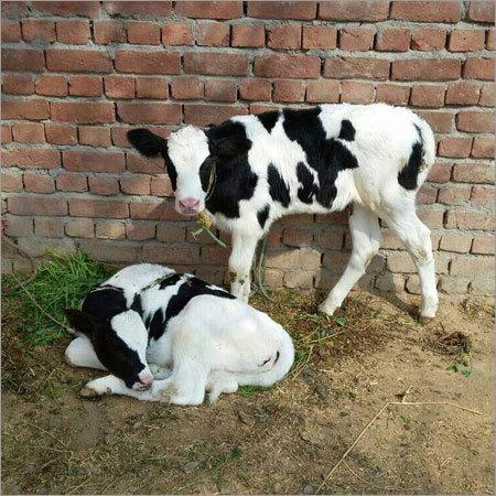 HF Bull Calf