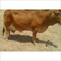 Sahiwal Cows Cattle