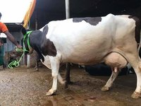 Dairy Holstein Friesian Cow