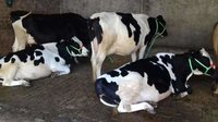 HF Dairy Cows