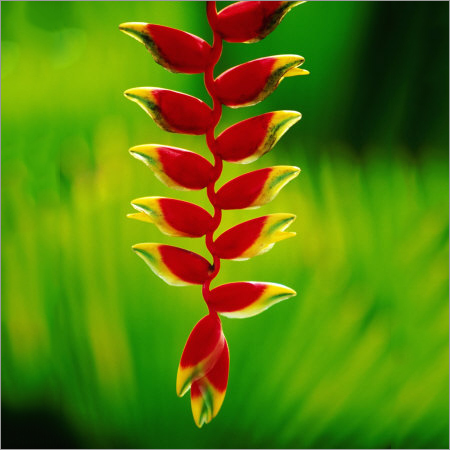 Heliconia Flower