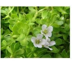 Bacopa Monnieri Extract Leavesundefined