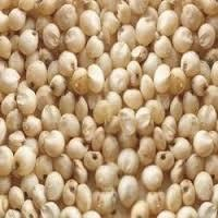 Indian White Sorghum