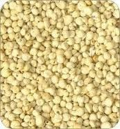 Indian Creamy Sorghum