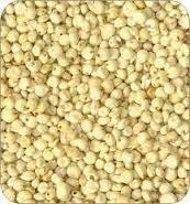 Indian Creamy Sorghum