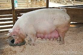 Pregnant Sow Feed
