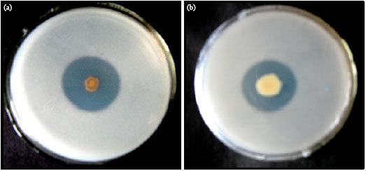 Phosphate Solubilizing Bacterium (PSB)