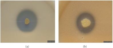 Potash Solubilizing Bacteria