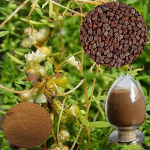 Semen Cuscutae Extract Powder
