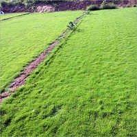 Taiwan Lawn Grass