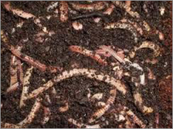 Vermicompost Manure