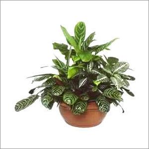 Indoor Garden Plants Indoor Garden Plants Manufacturer Service Provider Supplier Pune India