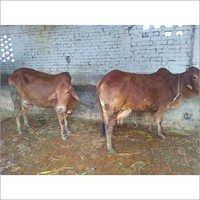 sahiwal cow hefier