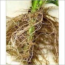 Coleus Forskholi Root Extract