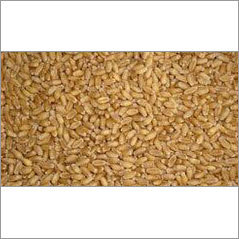 PBW 343 Wheat Seed