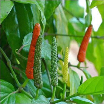 Fresh Long Pepper
