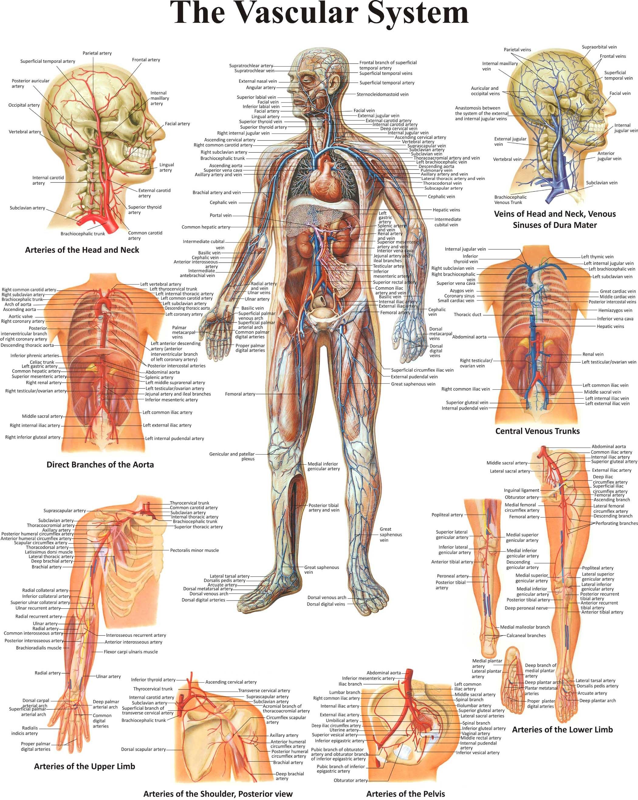 Magnificent Cardiac Veins Anatomy Ideas Physiology Of Human Body