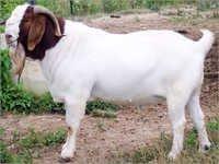 Boer Breed Goat