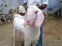 Tellicherry Goat