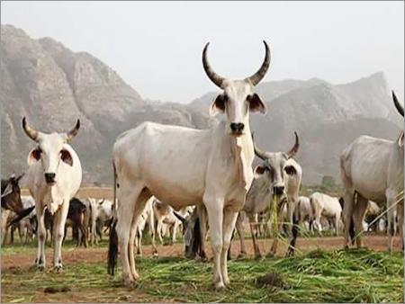 Kankrej Cows