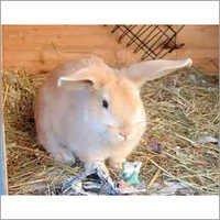 Live Rabbits