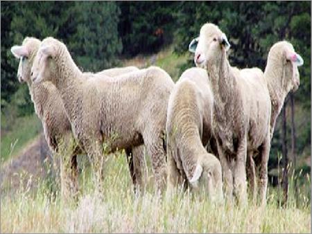 Rambouillet Sheep