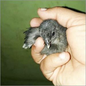 Kadakanath Chick