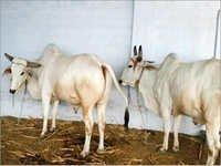 Tharparkar Bulls