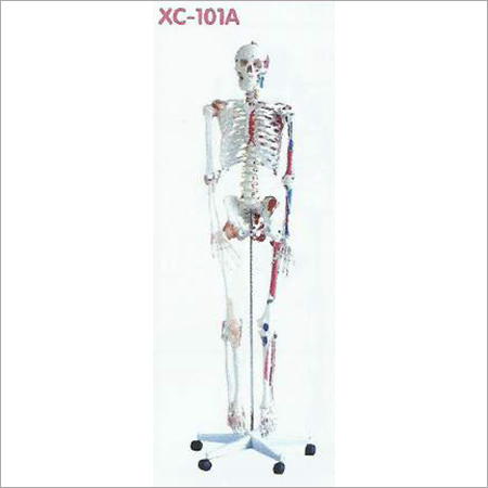 Life Size Human Skeleton Model 180cm