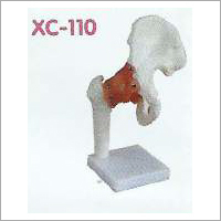 Life Size Hip Joint Model