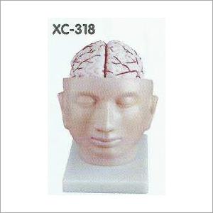 Brain with Arteries on Head Model
