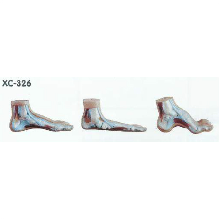 Normal Flat and Arched Foot Model