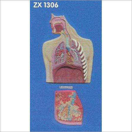 Human Respiratory System Model